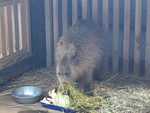 ueno kapibara 2